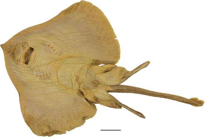 First complete description of the dark-mouth skate Raja arctowskii ...