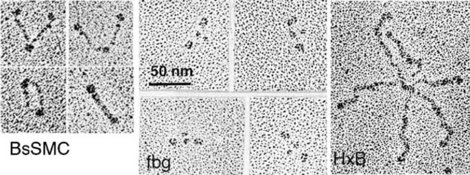 Size and Shape of Protein Molecules at the Nanometer Level