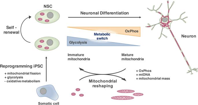 Mitochondria in Developmental and Adult Neurogenesis   SpringerLink