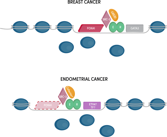 Estrogen Signaling In Endometrial Cancer A Key Oncogenic Pathway With Several Open Questions Springerlink