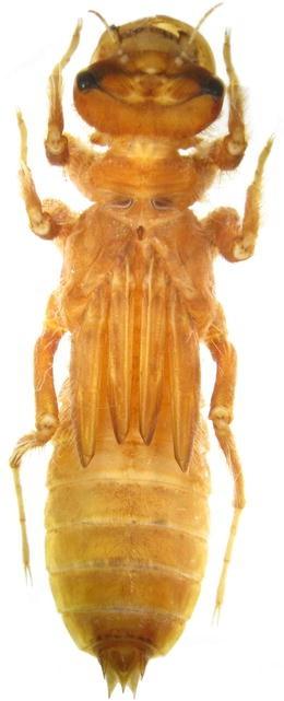 The larva of Libellula foliata (Kirby, 1889) (Odonata ...