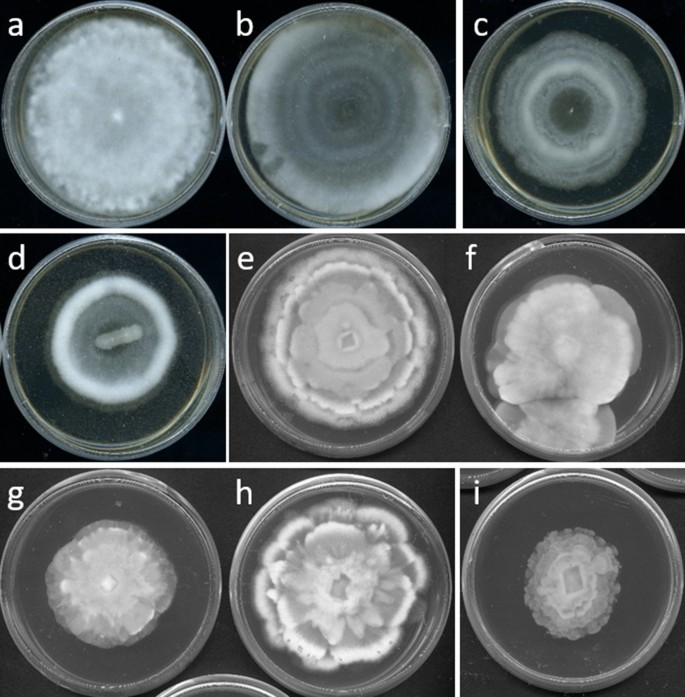 Resolving the Mortierellaceae phylogeny through synthesis of multi ...