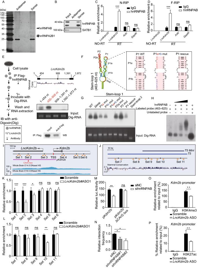 Long non-coding RNA LncKdm2b regulates cortical neuronal ...