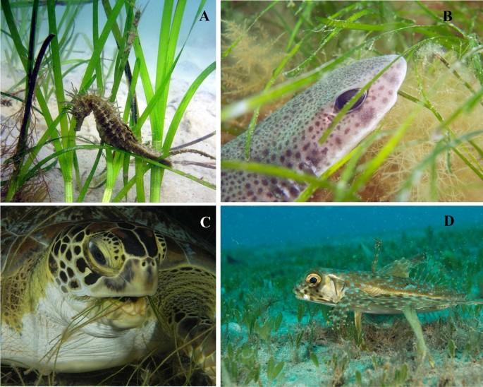 Global challenges for seagrass conservation | SpringerLink