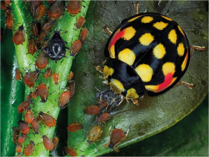 Soon Bio Ladybugs Anti aphids Protection Fruit Trees Over 150 cm