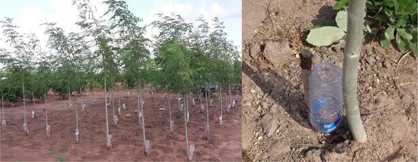 Biomass allocation in five semi-arid afforestation species is ...