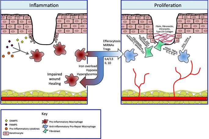 Immunology of Wound Healing | SpringerLinkSpringerLink