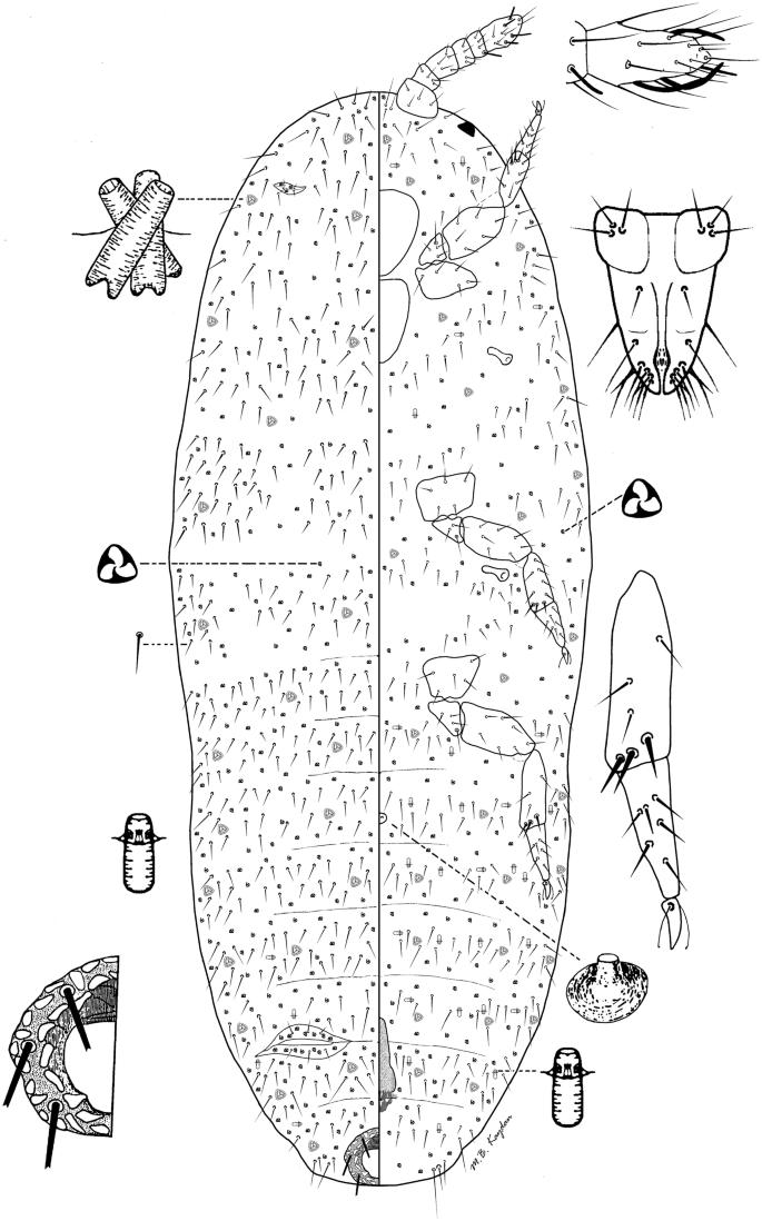 Investigations on the Genus Rhizoecus (Hemiptera: Rhizoecidae ...