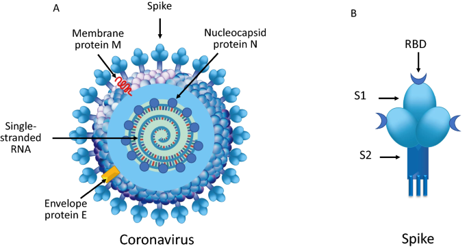 Differences and similarities between SARS-CoV and SARS-CoV-2: spike  receptor-binding domain recognition and host cell infection with support of  cellular serine proteases | SpringerLink