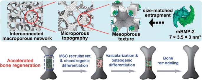 Bone Tissue Regeneration Biology Strategies And Interface Studies Springerlink