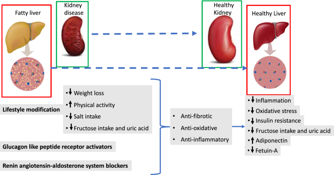 Therapeutic Implications Of Shared Mechanisms In Non Alcoholic Fatty Liver Disease And Chronic Kidney Disease Springerlink