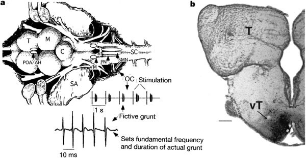 forebrain peptides modulate sexually polymorphic vocal circuitry