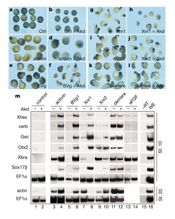 Arkadia enhances nodal-related signalling to induce