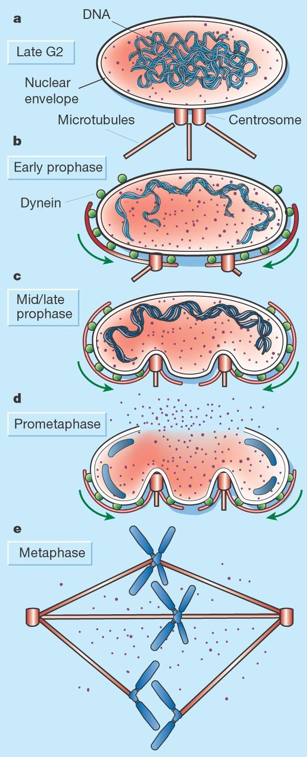 Ripping Up The Nuclear Envelope | Nature
