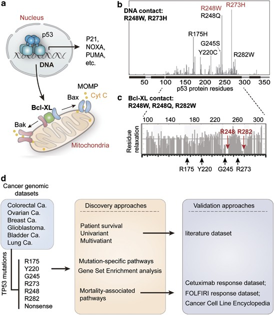 Unequal Prognostic Potentials Of P53 Gain Of Function Mutations In Human Cancers Associate With Drug Metabolizing Activity Cell Death Disease