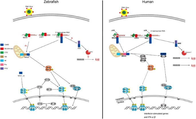 Pattern Recognition Receptors In Zebrafish Provide Functional And