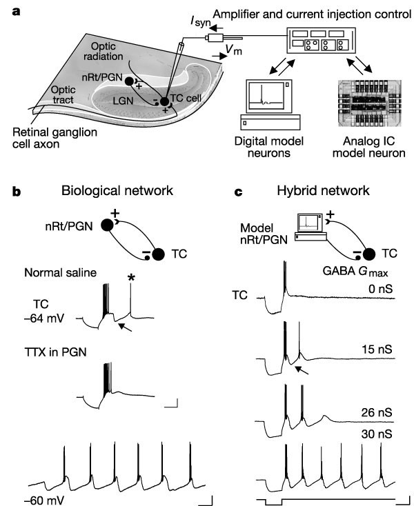 feedback inhibition controls spike transfer in hybrid thalamic circuits