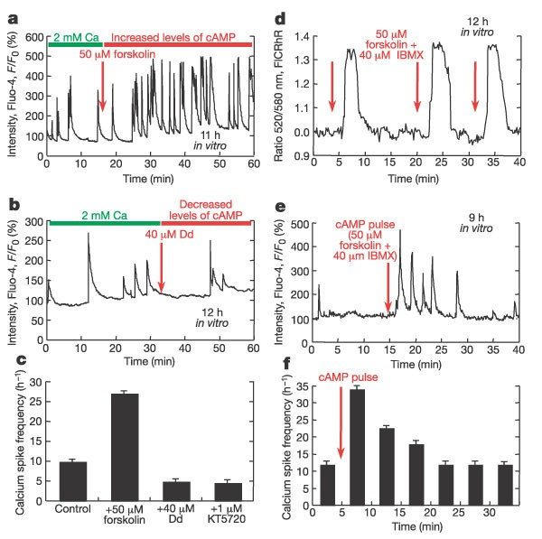Dynamic interactions of cyclic AMP transients and spontaneous Ca 2+