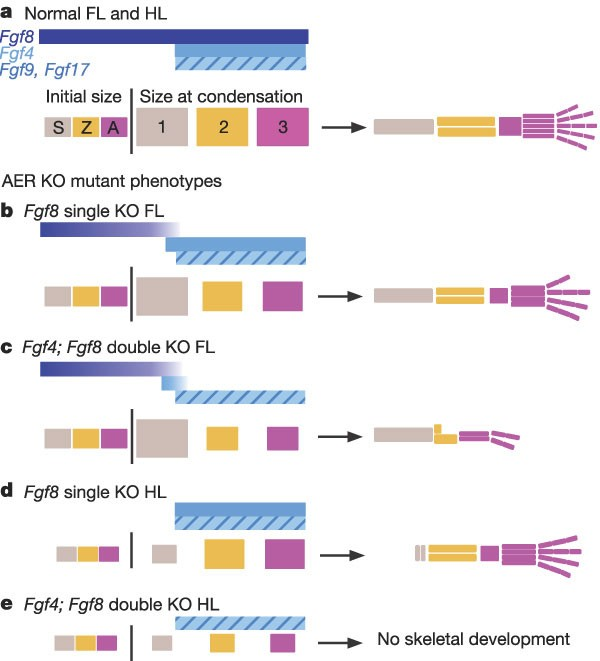 Functions of FGF signalling from the apical ectodermal ridge