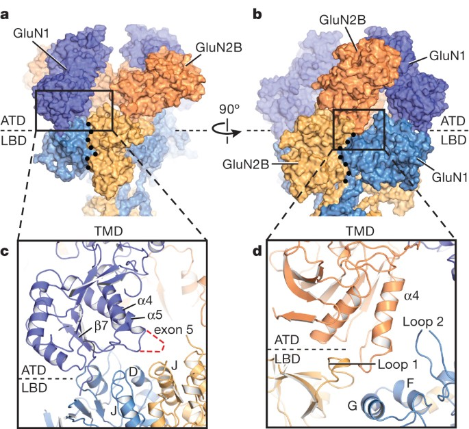 Nmda Receptor Structures Reveal Subunit Arrangement And Pore Architecture Nature