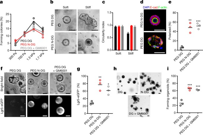 Designer Matrices For Intestinal Stem Cell And Organoid Culture Nature