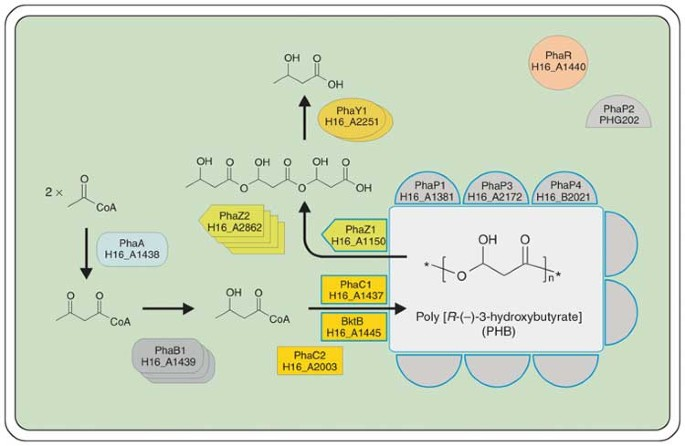 """Genome sequence of the bioplastic-producing """"Knallgas"""