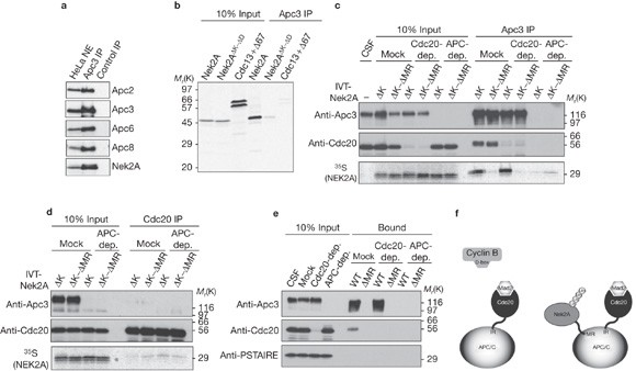 Early mitotic degradation of Nek2A depends on Cdc20