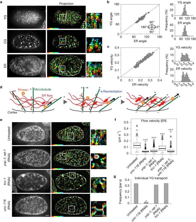 Endoplasmic-reticulum-mediated microtubule alignment governs