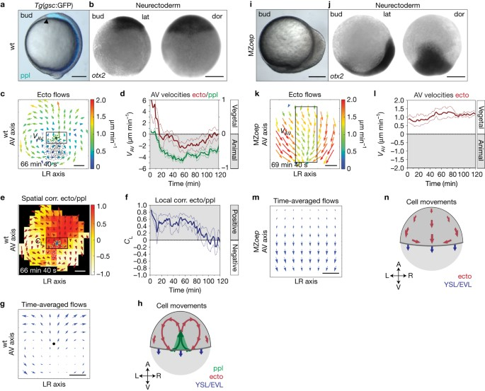 Friction forces position the neural anlage | Nature Cell Biology