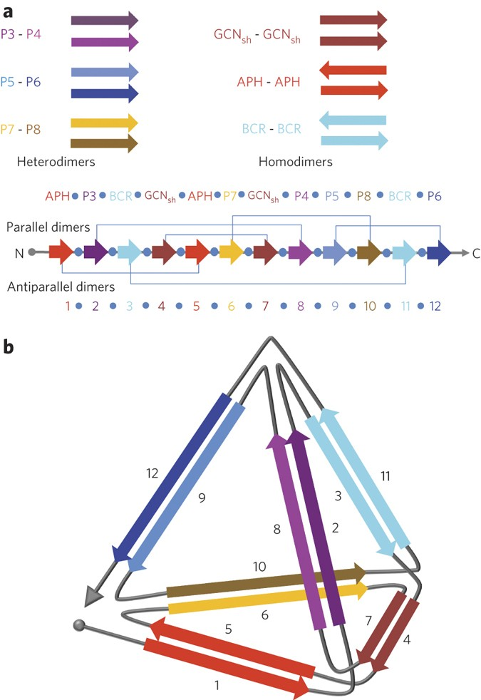 Design Of A Single Chain Polypeptide Tetrahedron Assembled From Coiled Coil Segments Nature Chemical Biology