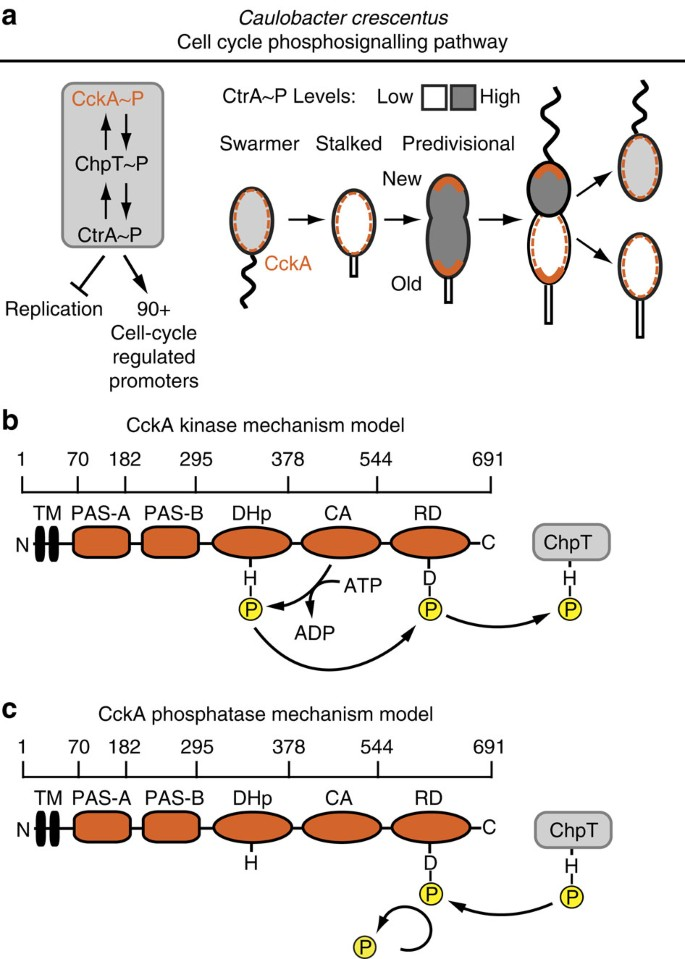 A cell cycle kinase with tandem sensory PAS domains ...  Hp Johnson Wiring Diagram Modle Rds on