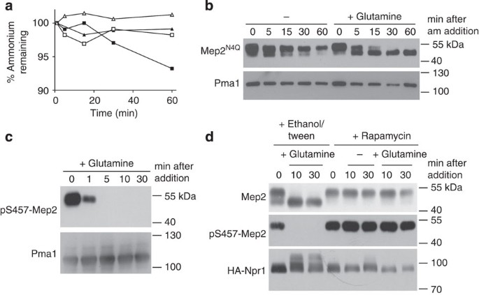 The TORC1 effector kinase Npr1 fine tunes the inherent activity of ...