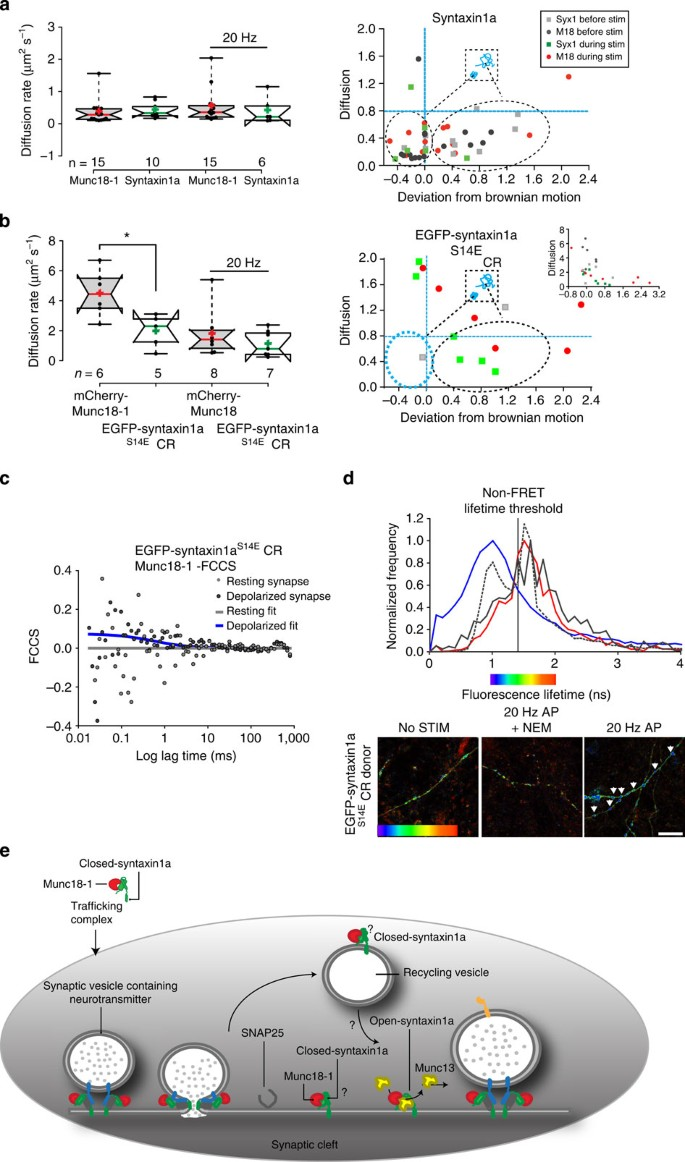 A Molecular Toggle After Exocytosis Sequesters The Presynaptic Syntaxin1a  Molecules Involved In Prior Vesicle Fusion | Nature Communications