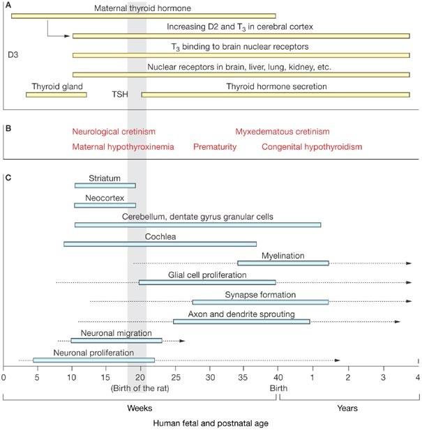 Thyroid Hormone Receptors In Brain Development And Function