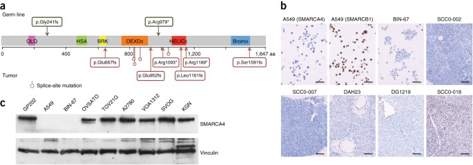 Small Cell Carcinoma Of The Ovary Hypercalcemic Type Displays Frequent Inactivating Germline And Somatic Mutations In Smarca4 Nature Genetics