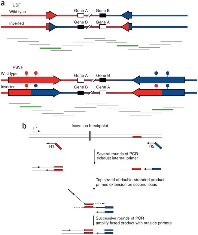 Assaying chromosomal inversions by single-molecule