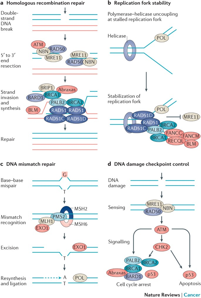 Hereditary Breast And Ovarian Cancer New Genes In Confined Pathways Nature Reviews Cancer