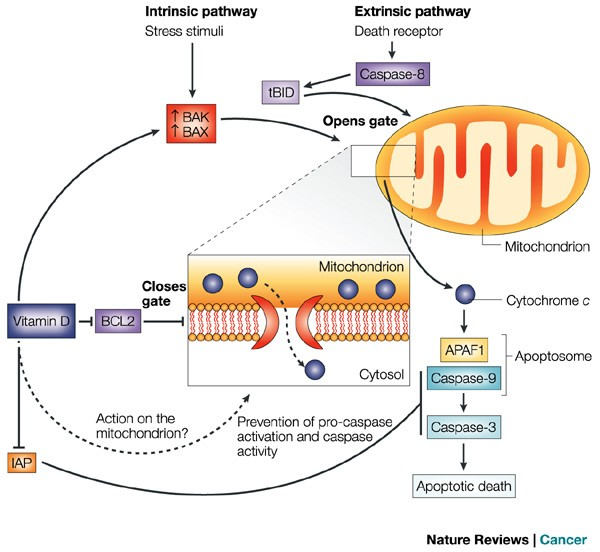 Chemoprevention Of Colon Cancer By Calcium Vitamin D And Folate Molecular Mechanisms Nature Reviews Cancer