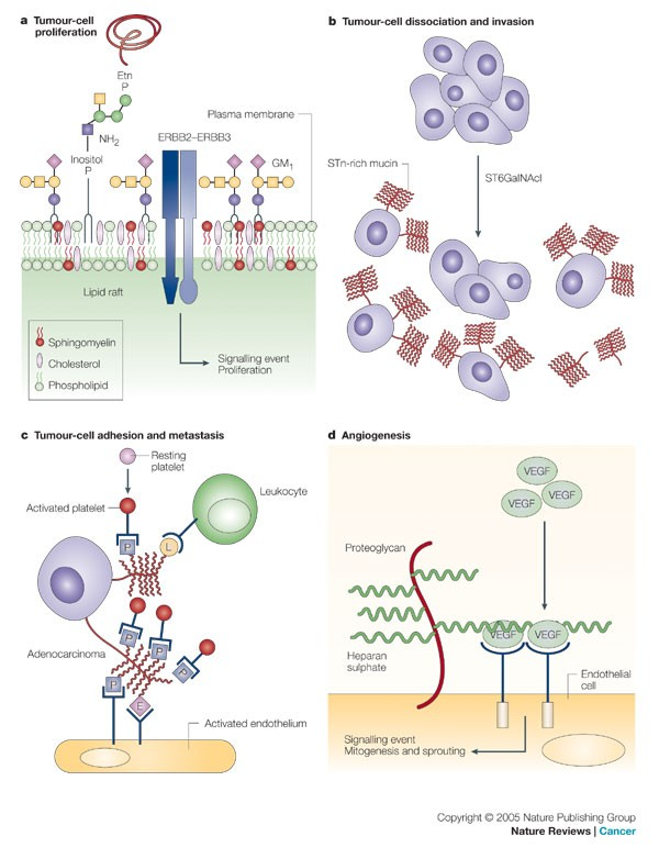 The sweet and sour of cancer: glycans as novel therapeutic