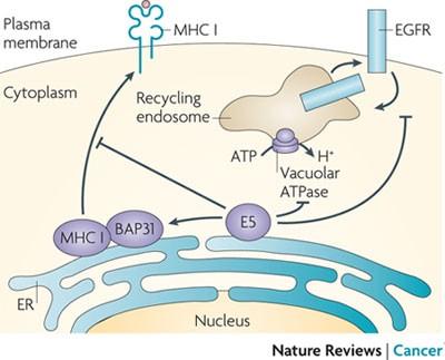 Potenciálisan onkogén papillomavírus jelenléte