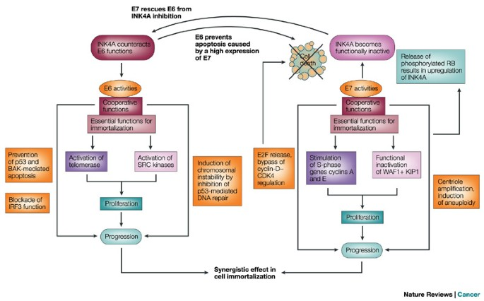 hpv and cancer pubmed