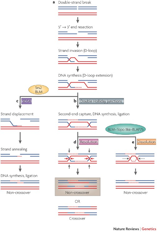 What is 'crossing over' in terms of genetics? - Quora