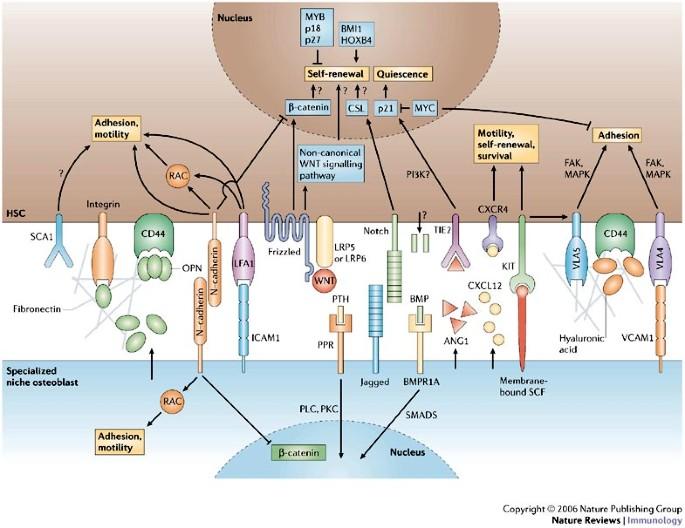 Bone-marrow haematopoietic-stem-cell niches | Nature Reviews