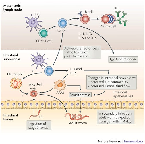 helminth infection th2
