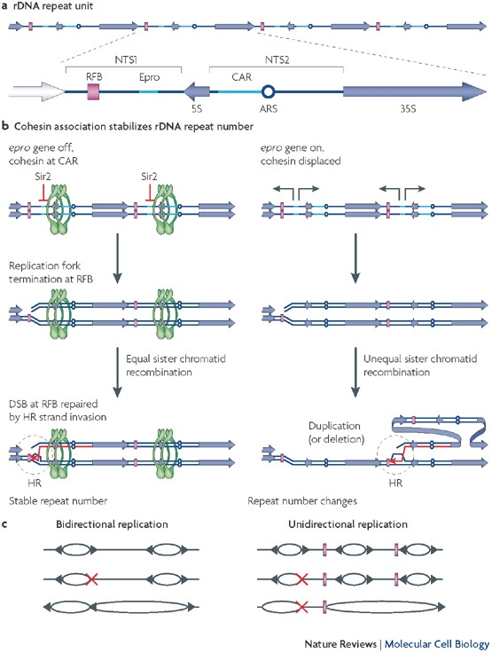 Smc5 6 A Link Between Dna Repair And Unidirectional Replication Nature Reviews Molecular Cell Biology