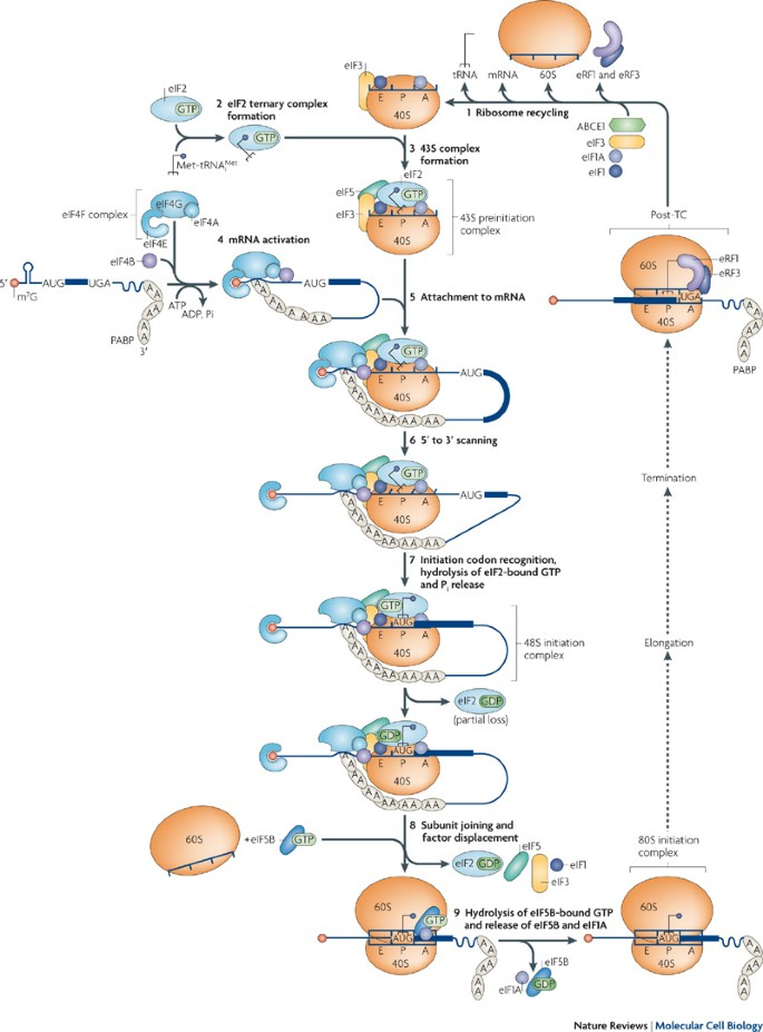 The Mechanism Of Eukaryotic Translation Initiation And Principles Of Its  Regulation   Nature Reviews Molecular Cell Biology