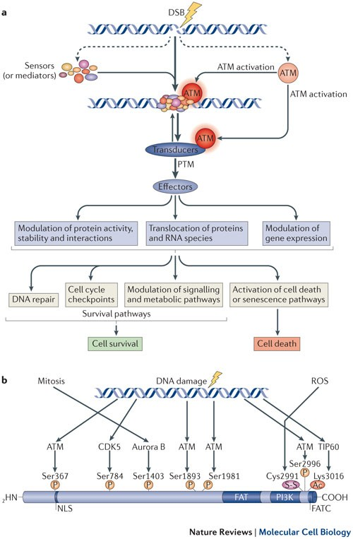The ATM Protein Kinase: Regulating The Cellular Response To Genotoxic  Stress, And More | Nature Reviews Molecular Cell Biology