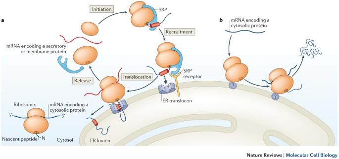 Diversity and selectivity in mRNA translation on the endoplasmic reticulum  | Nature Reviews Molecular Cell Biology