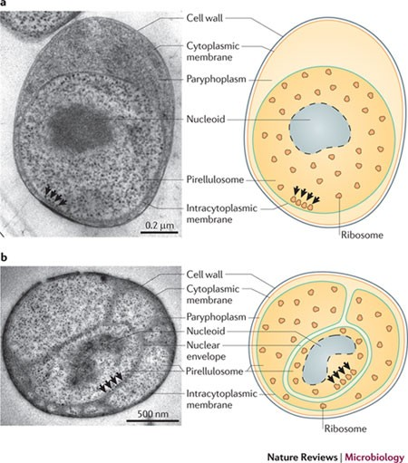 Evolution of nucleus resembling structure in bacteria