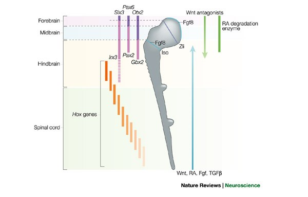 Half a century of neural prepatterning: the story of a few bristles